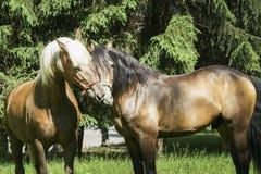 与站立在草的一根白色和一根黑鬃毛的两匹棕色马 免版税库存图片