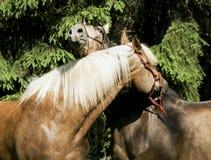 与站立在草的一根白色和一根黑鬃毛的两匹棕色马 图库摄影