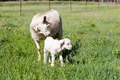 与站立在象草的小牧场的水坝母亲的白色小孩山羊 免版税图库摄影