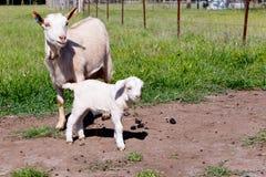 与站立在象草的小牧场的水坝母亲的白色小孩山羊 库存图片