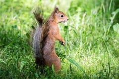 与站立在绿色新鲜的草的红色毛皮的幼小灰鼠 库存图片