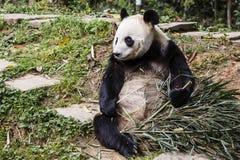 与竹子的两个拳头的安装的大熊猫成人 库存图片
