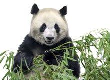 与竹子的大熊猫 图库摄影