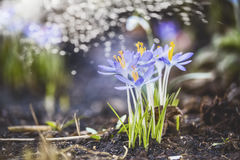 与第一朵番红花的春天背景在庭院或公园里有bokeh的 免版税库存图片