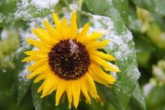 与第一雪的向日葵 免版税库存照片