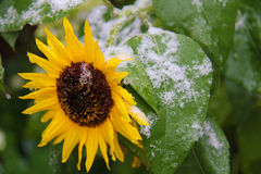 与第一雪的向日葵 免版税库存图片