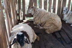 与笼子的绵羊 库存图片