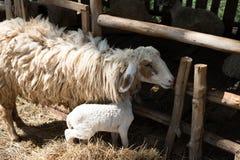 与笼子的绵羊 免版税库存图片