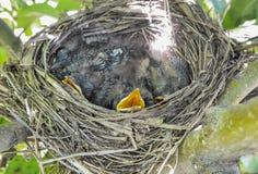 与等待食物的四只小鸟的小巢 免版税库存照片