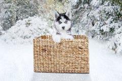 与篮子的西伯利亚爱斯基摩人在森林 库存图片