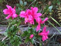 与篱芭的桃红色杜娟花花在背景中 免版税库存图片