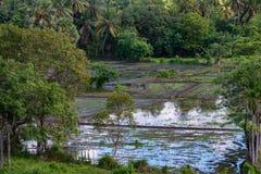 与米庄稼的领域在斯里兰卡 免版税库存图片