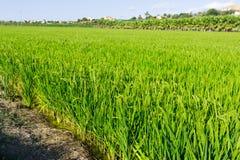 与米领域的农村风景 免版税库存照片