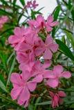 与粉色和绿色叶子的夹竹桃花 免版税库存图片