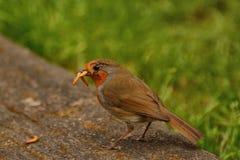 与粉虫的劳累过度的知更鸟 图库摄影