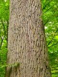 与粗砺的吠声的树干 免版税图库摄影