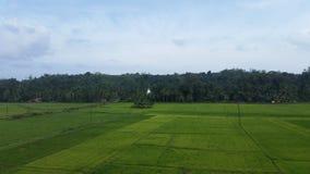 与粮食作物的稻田 库存照片