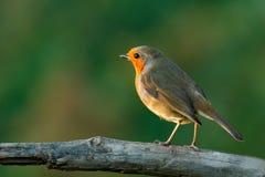 与精密橙红全身羽毛的俏丽的鸟 库存图片