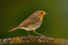 与精密橙红全身羽毛的俏丽的鸟 免版税库存图片