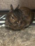 与精密长发的逗人喜爱的棕色小兔 免版税库存图片