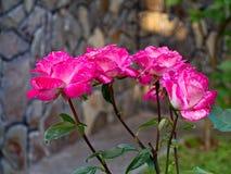 与精美桃红色白色瓣的一朵美丽的玫瑰色花将是所有花束或构成的装饰品 免版税库存图片