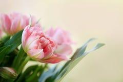 与精美桃红色郁金香的卡片 免版税库存图片