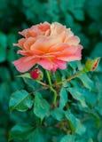 与精美瓣的一朵迷人的玫瑰色花在与脊椎和鲜绿色的叶子的一个稀薄的词根 美妙的芳香  库存照片