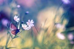 与精美白花的自然本底在坐在明亮的一块绿色夏天沼地和一只小蓝色蝴蝶 图库摄影
