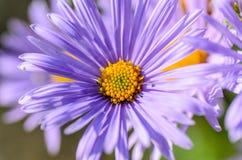 与精美紫罗兰色瓣的翠菊 免版税库存图片