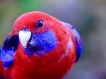 与精采全身羽毛的典雅的快乐的绯红色Rosella 库存照片