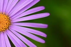 与紫罗兰色瓣特写镜头的大雏菊花 免版税库存图片