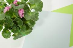 与紫罗兰色花的鲜绿色的紫罗兰在彩纸背景 免版税库存照片