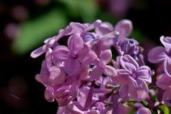 与紫色小花的背景关闭  免版税图库摄影