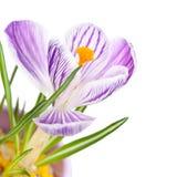 与紫色数据条的空白番红花 免版税库存照片