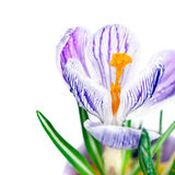 与紫色数据条的空白番红花 库存图片