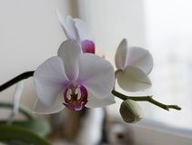 与紫色核心的柔软白色兰花 免版税库存照片