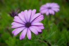 与紫色瓣的非洲雏菊 免版税库存照片
