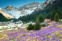 与紫色番红花的高山风景开花, Fagaras山,喀尔巴汗,罗马尼亚 库存照片