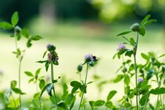 与紫色绽放的绿色新鲜的三叶草 库存图片