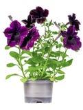 与紫色花的喇叭花在罐 免版税库存照片