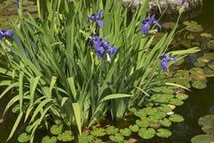 与紫色花的虹膜laevigata 免版税库存照片