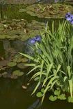 与紫色花的虹膜laevigata 库存照片