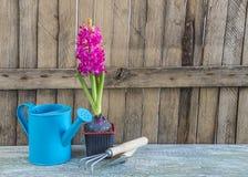 与紫色风信花花的春天从事园艺的构成 图库摄影