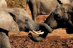 与纠缠的树干的大象 免版税库存照片