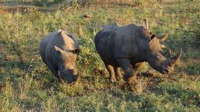 与红开帐单的Oxpecker的犀牛 图库摄影