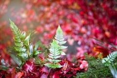 与红槭叶子的蕨 免版税图库摄影