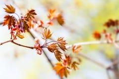 与红槭树枝的美好的春天花卉背景 浅景深,明亮的彩色照相 免版税图库摄影