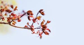 与红槭树枝的美好的春天花卉背景 浅景深,明亮的彩色照相 库存图片