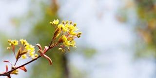 与红槭树枝的美好的春天花卉背景 浅景深,明亮的彩色照相 库存照片
