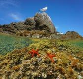与红海的地中海鸥担任主角在水面下 免版税库存图片